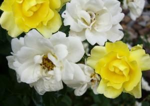 Rosen gelb und weiß