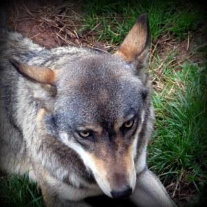 Wolf_IMG_6639