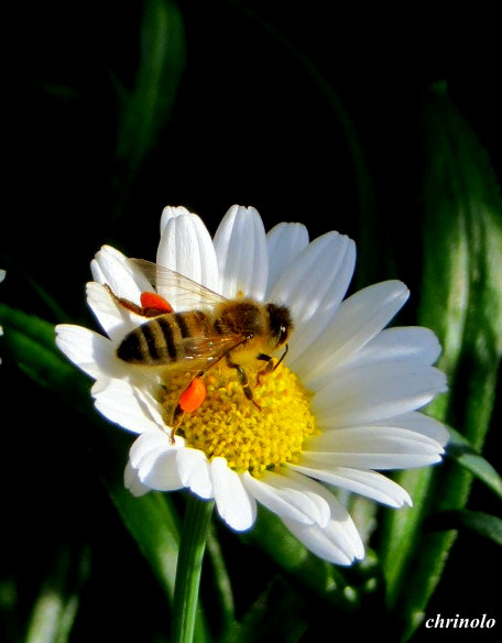 biene-mit-pollen_img_2896